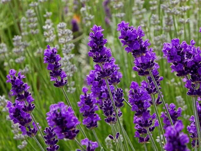 Tinh chất hoa oải hương giúp làm dịu nhanh các cơn đau và cải thiện hệ tiêu hóa